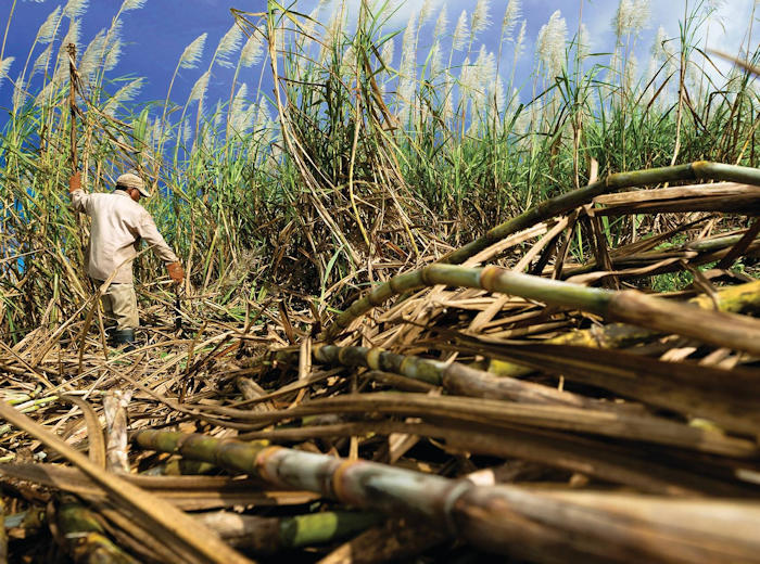 Harvesting Sugar Cane for Rum
